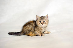 Kitten brindle coat color. Royalty Free Stock Image