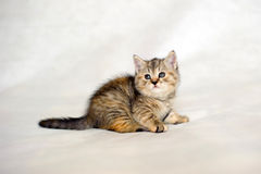 Kitten brindle coat color, striped baby. Royalty Free Stock Images