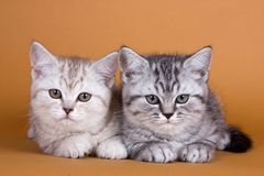 Kitten British arkivfoto