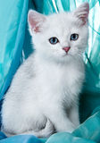 Kitten of the British breed. Stock Photo