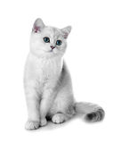 Kitten of the British breed. Stock Photography