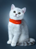 Kitten of the British breed. Royalty Free Stock Image
