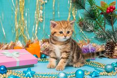 Kitten British breed and Christmas Royalty Free Stock Image