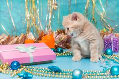 Kitten British breed and Christmas Royalty Free Stock Photo