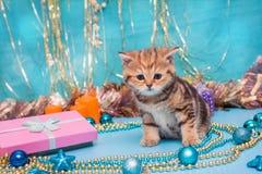Kitten British breed and Christmas Stock Image