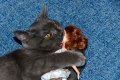 Kitten British breed playing with a doll girl on a blue couch. Funny cat face. stock image