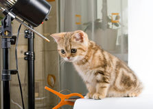 Kitten British breed, posing in studio. Royalty Free Stock Image