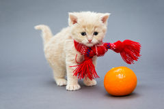 Kitten British breed with a scarf. Little kitten British breed with a beautiful scarf on a grey background royalty free stock photos