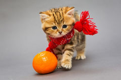 Kitten British breed with a scarf. Little kitten British breed with a beautiful scarf on a grey background royalty free stock photo