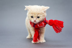 Kitten British breed with a scarf. Little kitten British breed with a beautiful scarf on a grey background stock photography