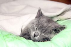 Maine Coon kitten sleep under blanket. Kitten of the British breed royalty free stock photos