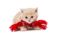 Kitten British i en röd halsduk Arkivfoto