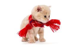 Kitten British i en röd halsduk Royaltyfri Fotografi