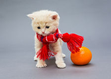 Kitten British in a red scarf. Little kitten British breed with a beautiful scarf on a grey background royalty free stock image