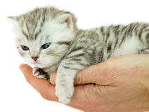 Kitten british short hair black silver tabby spotted lying on a hand Stock Images