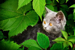 Kitten  of Britisher is in vine leaves Royalty Free Stock Photo