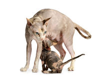 Kitten brood feeding by mother cat Stock Photography