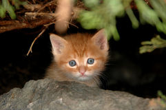 Kitten in bush Royalty Free Stock Images
