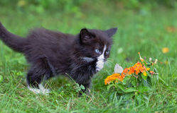 Kitten & Butterfly. A kitten is watching the butterfly Royalty Free Stock Photography