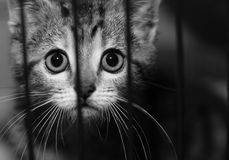 Kitten in a cage. Homeless animals series. Tabby kitten in a cage looking out through the bars. Black and white image royalty free stock photography