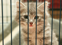Kitten in a cage. Grey tabby kitten looking out from behind the bars of his cage royalty free stock photography