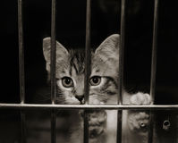 Kitten in a cage. Tiny tabby kitten with his paws up looking out through the bars of his cage. Black and white image royalty free stock image