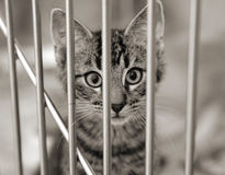 Kitten in a cage. Homeless animals series. Tabby kitten looking out from behind the bars of his cage. Black and white image stock photos