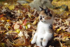 Kitten. Calico kitten playing in the leaves Royalty Free Stock Photography