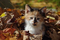 Kitten. Calico kitten playing in the leaves Royalty Free Stock Image