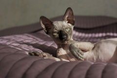 Kitten of the canadian Sphinx is lying on the bed, bald cat Stock Image