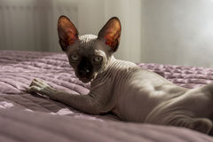Kitten of the canadian Sphynx, bald cat is lying on a blanket Royalty Free Stock Image