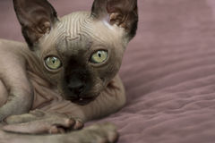 Kitten of the canadian Sphynx, bald cat muzzle Stock Photography