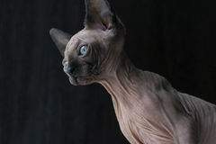 Kitten of the canadian Sphynx looks down, blue eyes, bald hairle Royalty Free Stock Photography