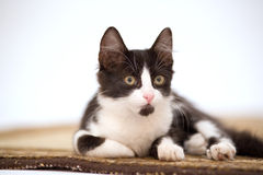 Kitten on the carpet Royalty Free Stock Images