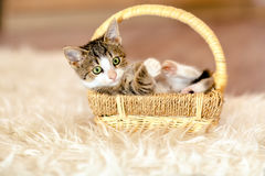 Kitten in the cart, looking away. Age 1 month Stock Images
