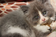 Kitten CAT Royalty Free Stock Photo