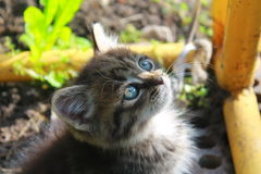 Mysterious look of a cute blue-eyed kitten. Cat, kitten, blue-eyed, cute, miracle, small, crumbs, charm, gray, smoke, charming, mystery, magical, angel Stock Photography