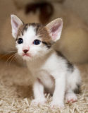 Kitten and cat. Cute little kitten with pink nose and white mustache  and blue eyes Royalty Free Stock Images