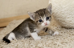 Kitten and cat. Cute little kitten with pink nose and white mustache  and blue eyes Royalty Free Stock Photo