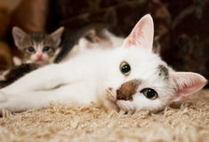 Kitten and cat. Cute little kitten with pink nose and white mustache  and blue eyes Stock Images