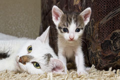 Kitten and cat. Cute little kitten with pink nose and white mustache near mum Stock Photos