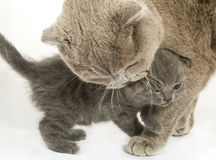 Kitten and cat over white stock image