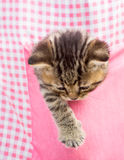 Kitten cat in pink pocket Stock Images