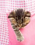 Kitten cat in pink pocket Stock Images