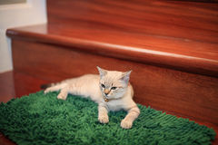 Kitten or cat relaxing Royalty Free Stock Image