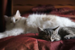 Kitten and cat resting. Kitten sleeping under the protection of his mother Stock Photo