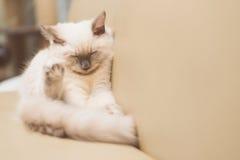 Kitten cat. Sleeping on sofa Royalty Free Stock Image