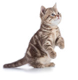 Kitten or cat standing isolated on white royalty free stock photography