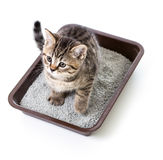 Kitten or cat in toilet tray box with absorbent litter isolated. On white royalty free stock photography