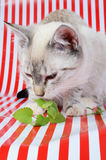 Kitten and catnip Royalty Free Stock Image